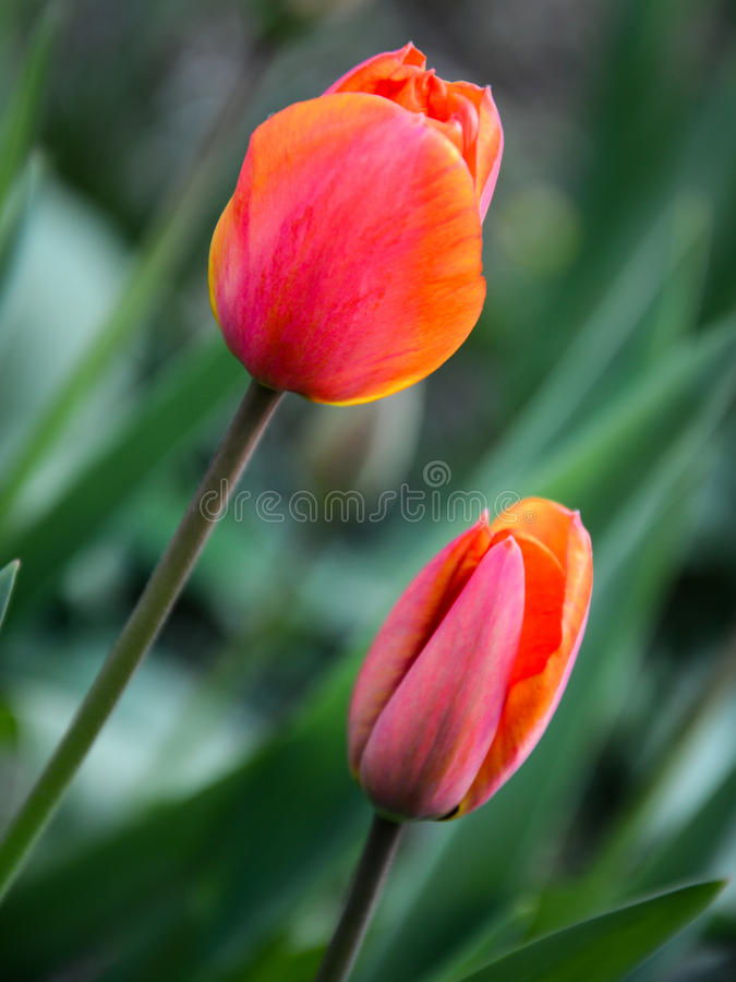 Tiptoe door Tulpen 1 stock foto's