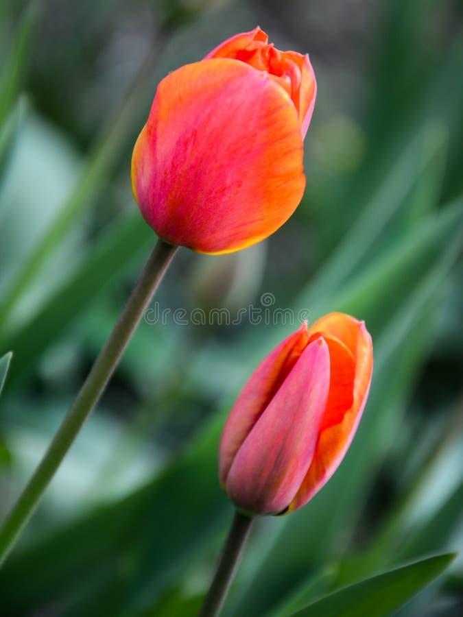 Tiptoe through the Tulips 1 stock photos