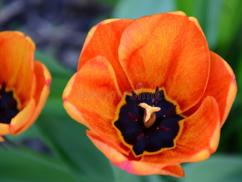 Tiptoe through the Tulips 3 stock photography