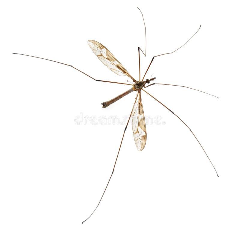 tipula för maximal för ben för kranpappafluga lång royaltyfria bilder