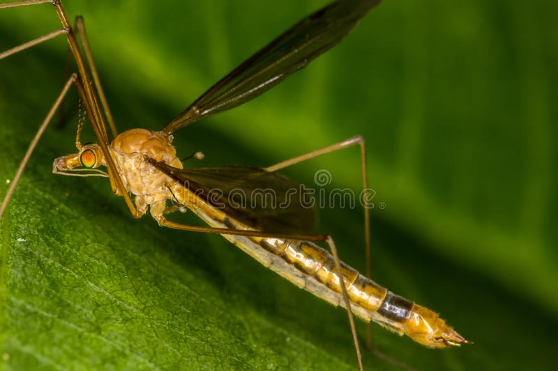 Tipula fascipennis dipter insect on leaf close up. Tipula fascipennis dipter insect on leaf macro photo stock photography