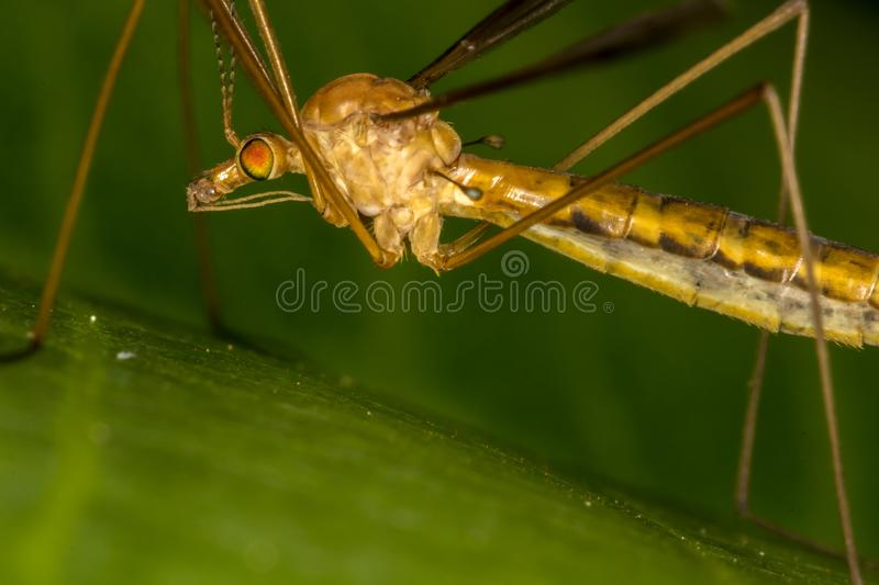 Tipula fascipennis dipter insect on leaf close up royalty free stock photos