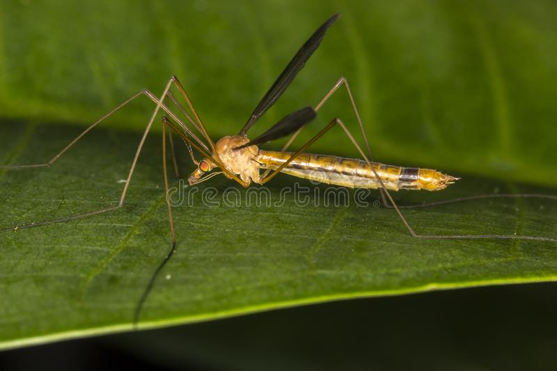 Tipula fascipennis dipter insect on leaf close up stock image