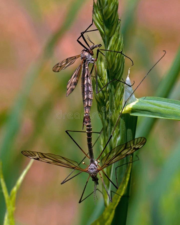 Tipuloidea deux qui compagnons accrochant dans la verdure photographie stock
