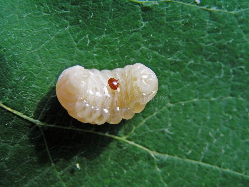 Tiquetaque de varroa (Varroa Jacobsoni). fotografia de stock royalty free