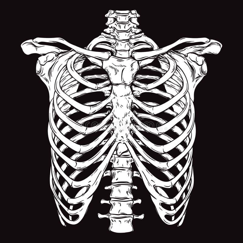 Tiré par la main cage thoracique humaine anatomiquement correcte de schéma illustration libre de droits