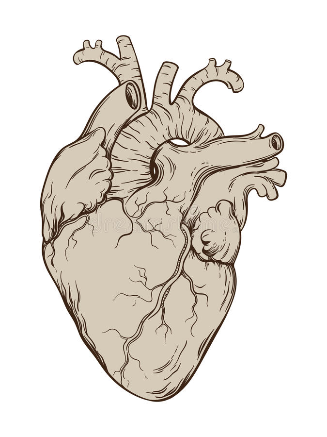 Tiré par la main coeur humain anatomiquement correct de schéma Illustration d'isolement de vecteur illustration de vecteur