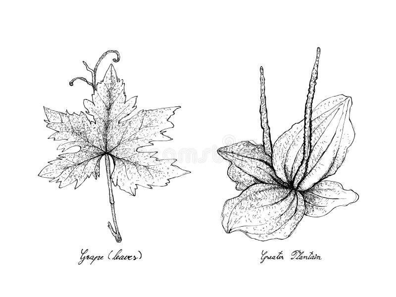 Tiré par la main de la feuille de raisin et du plus grand plantain illustration stock