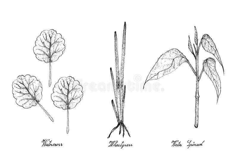 Tiré par la main du cresson, du Wheatgrass et des épinards de l'eau illustration stock