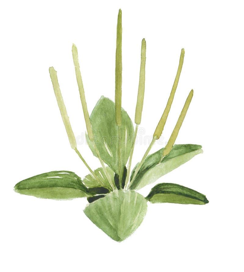Tiré par la main vert de plantain d'isolement sur le blanc illustration de vecteur