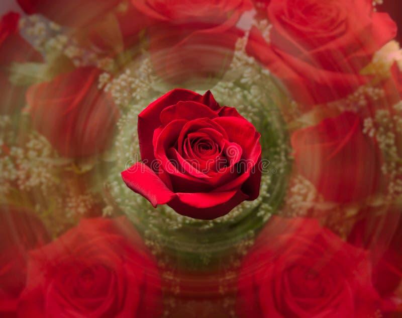Fermez-vous vers le haut de la rose de rouge avec le fond brouillé images libres de droits