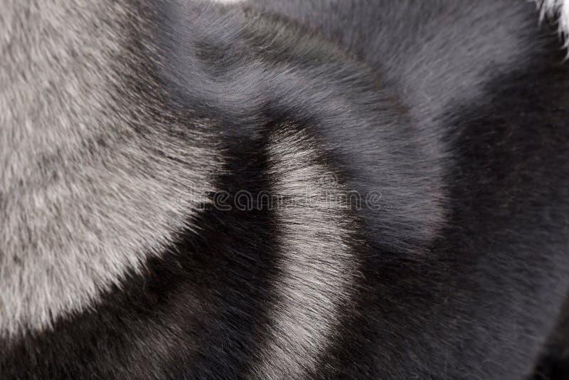 Tir étroit d'un manteau américain du ` s d'Akita photographie stock