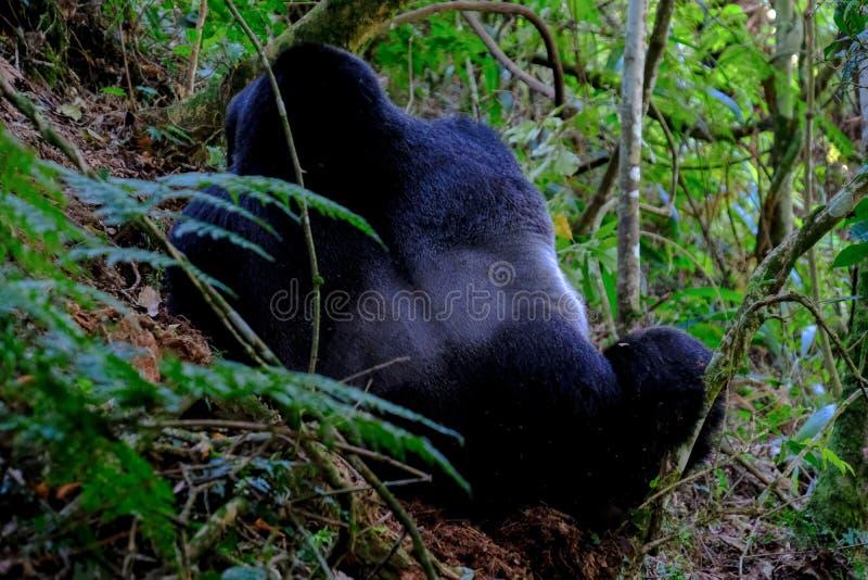 Tir étroit d'un orang-outan par derrière se reposer près des arbres et des usines image stock