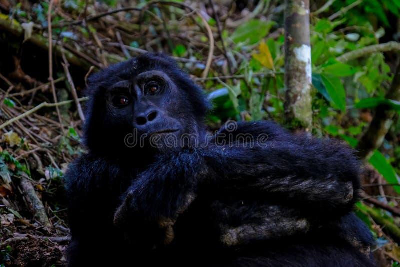 Tir étroit d'un orang-outan se reposant près des arbres et des usines avec le fond naturel brouillé photographie stock libre de droits