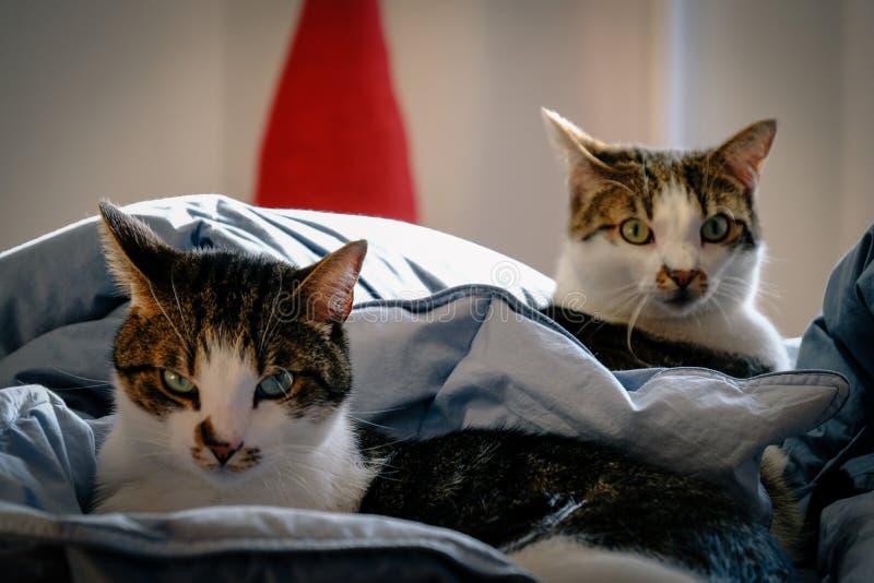 Tir étroit de deux chats s'étendant dans le lit regardant la caméra avec le fond brouillé photo libre de droits