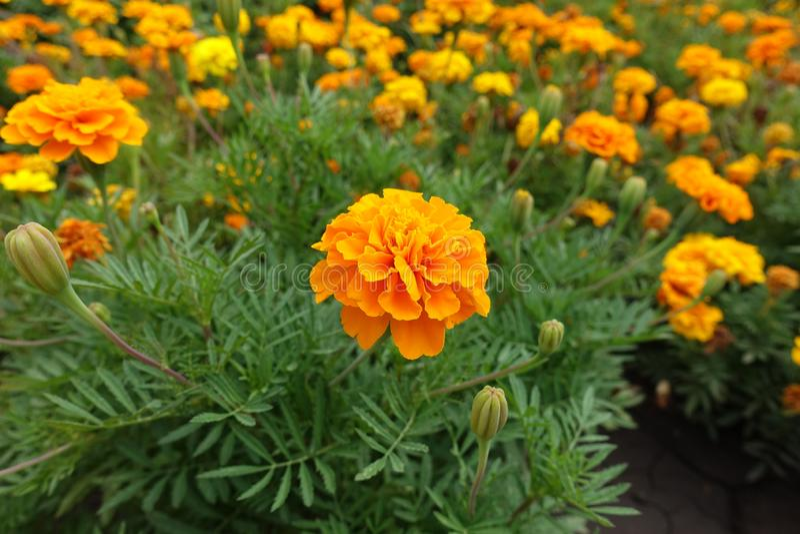 Tir étroit de flowerhead orange de patula de Tagetes en août photographie stock