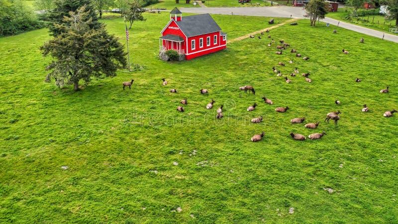 Tir aérien d'un beau champ vert avec une petits maison et troupeau en bois rouges d'Al de cerfs communs autour images libres de droits