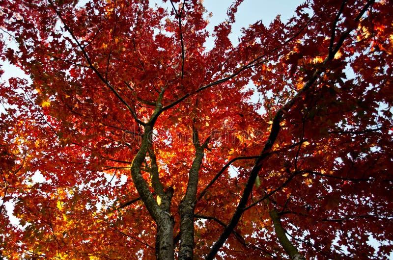 Tir ascendant d'arbre d'érable en automne images stock