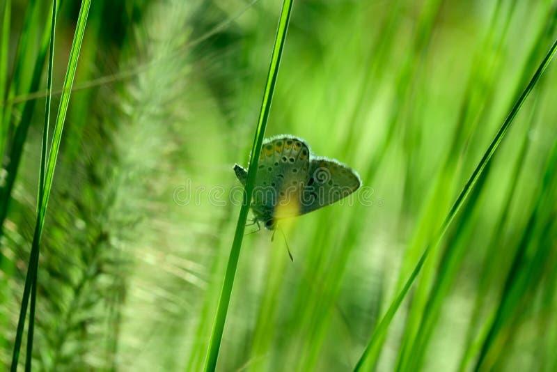Tir cultivé d'herbe verte avec le papillon image stock