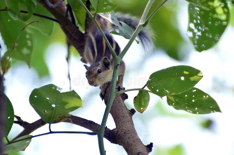 Tir d'écureuil photo stock