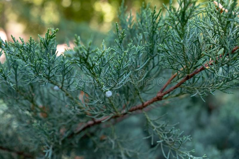 Tir de branche de pin macro images libres de droits
