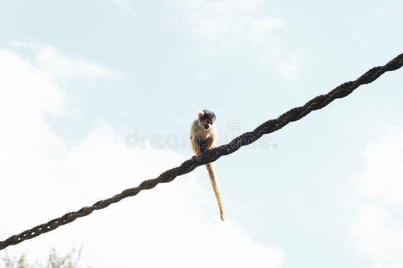Tir de gamme étroite d'un singe se reposant sur une corde images libres de droits