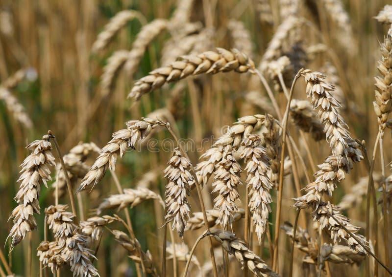 Tir de macro de champ de grain images libres de droits