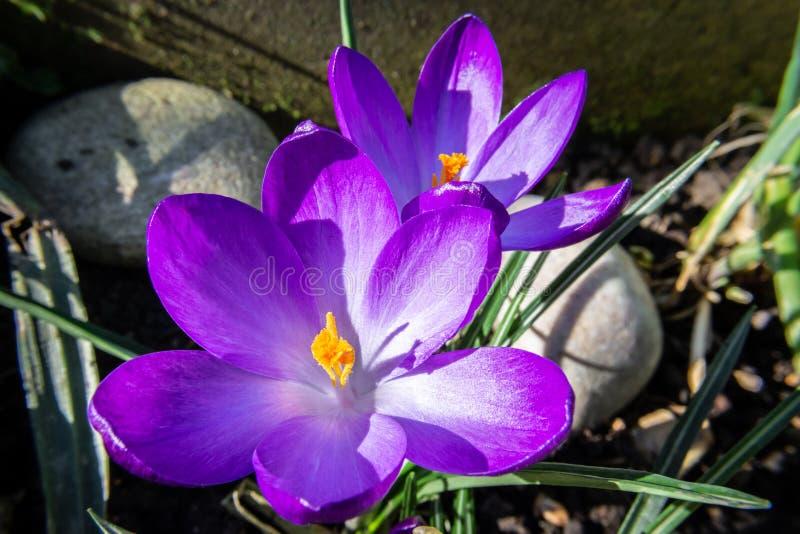 Tir de plan rapproché des fleurs de crocus de ressort le matin ensoleillé image libre de droits