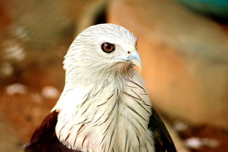 Tir de plan rapproch? et vue de c?t? d'Eagle chauve images libres de droits