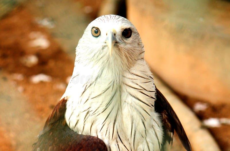 Tir de plan rapproch? et vue de face d'Eagle chauve photo stock