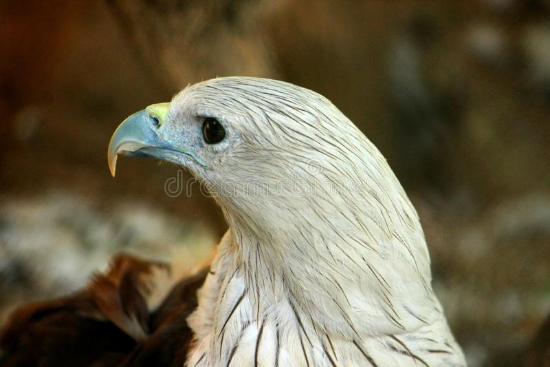 Tir de plan rapproch? et vue de c?t? d'Eagle chauve photo libre de droits