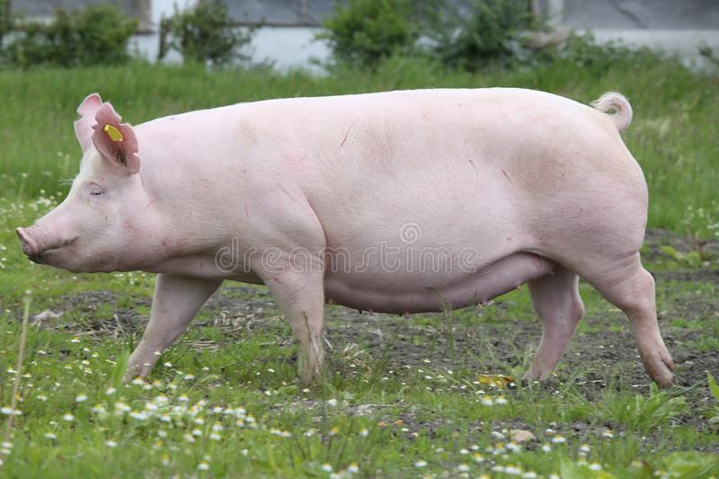 Tir de vue de côté d'un porc domestique de grande race blanche hongroise photographie stock libre de droits