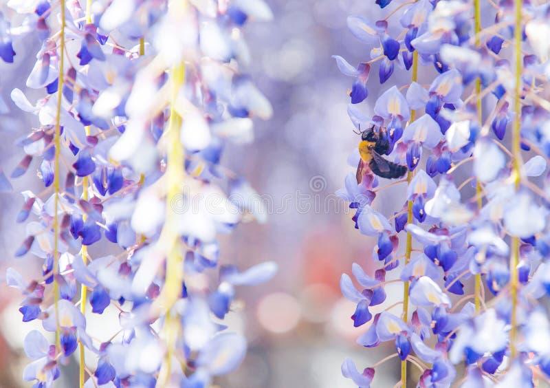 Tir en gros plan d'abeille et de fleur de glycine photos libres de droits