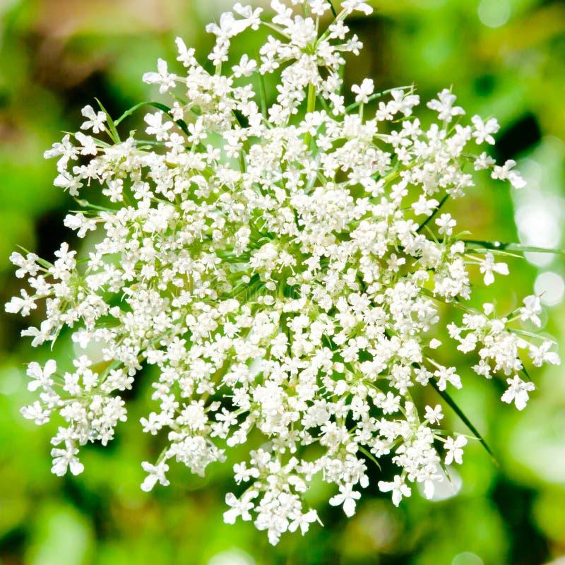 Tir en gros plan de la fleur blanche. image libre de droits