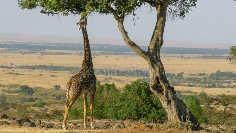 Tir grand-angulaire d'une girafe atteignant pour manger des feuilles dans le masai Mara images stock
