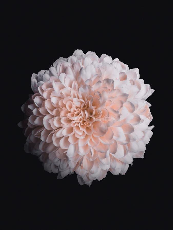 Tir haut étroit d'une fleur rose entièrement déployée avec de petits pétales photos stock