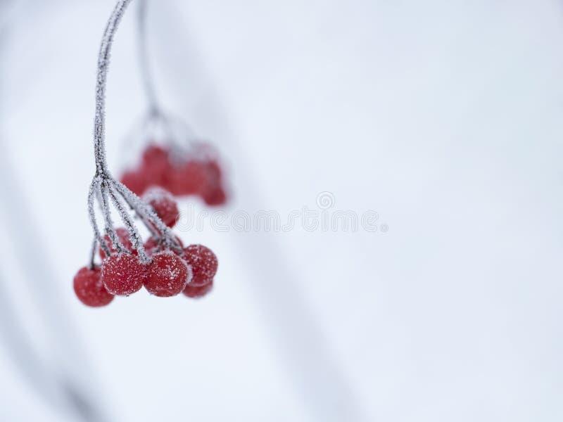 Tir haut étroit de branche gelée de viburnum au foyer sélectif de forêt d'hiver Fond de Bokeh image stock