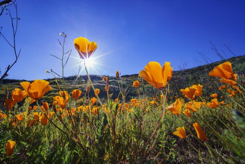 Tir haut étroit de fleur de fleur de pavot chez Diamond Valley Lake photographie stock libre de droits