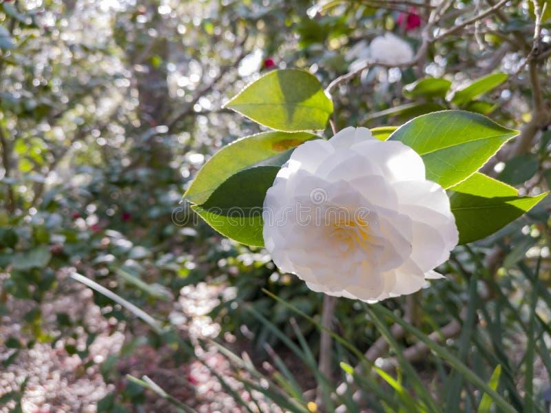 Tir haut étroit de la fleur blanche de camélia image stock