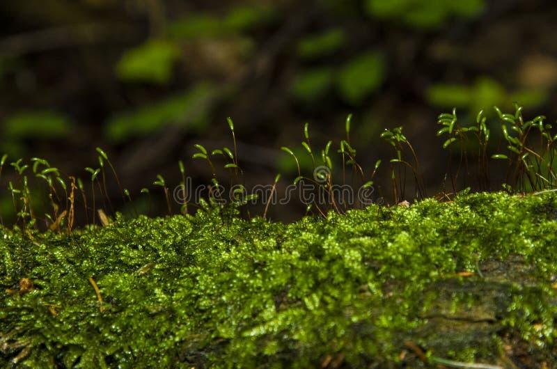 Tir haut étroit de mousse verte image libre de droits