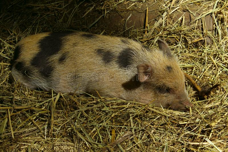 Tir haut étroit de porc de sommeil photo libre de droits