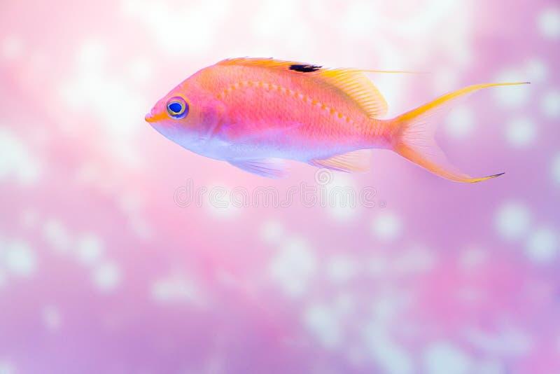 Tir haut étroit des poissons roses d'anthias sur le fond éclatant photographie stock