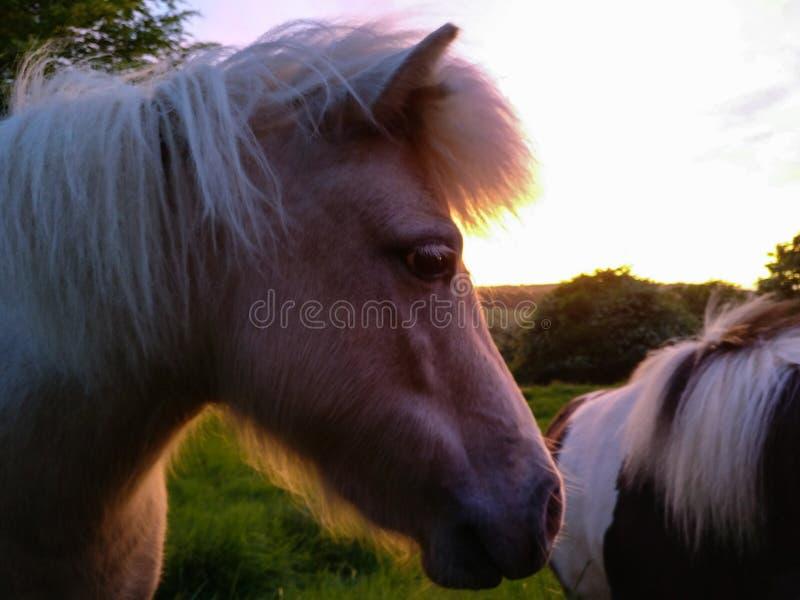 Tir latéral coloré de poney photographie stock