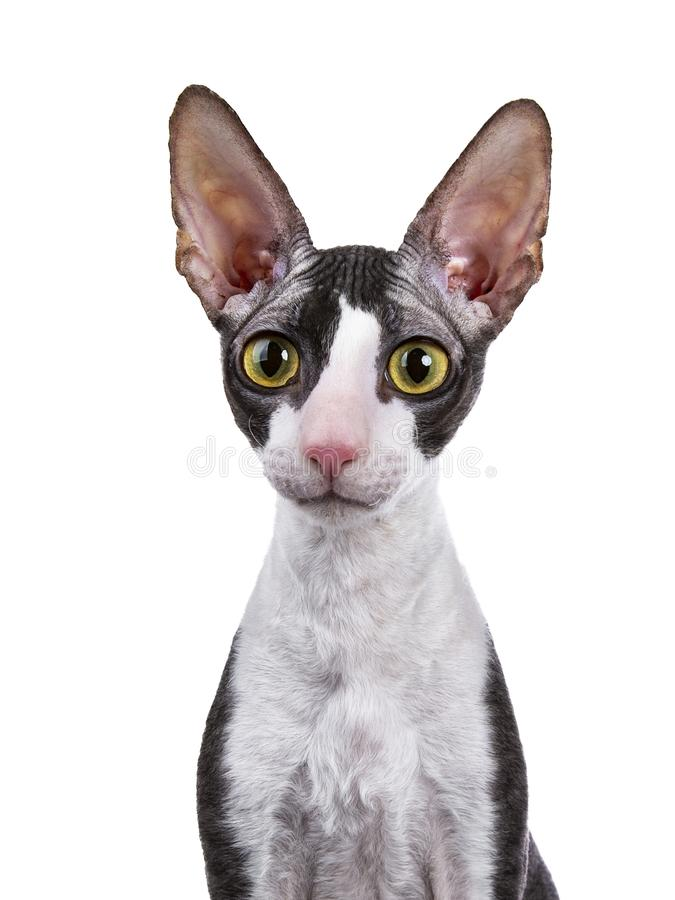 Tir principal du chat cornouaillais de Rex image stock