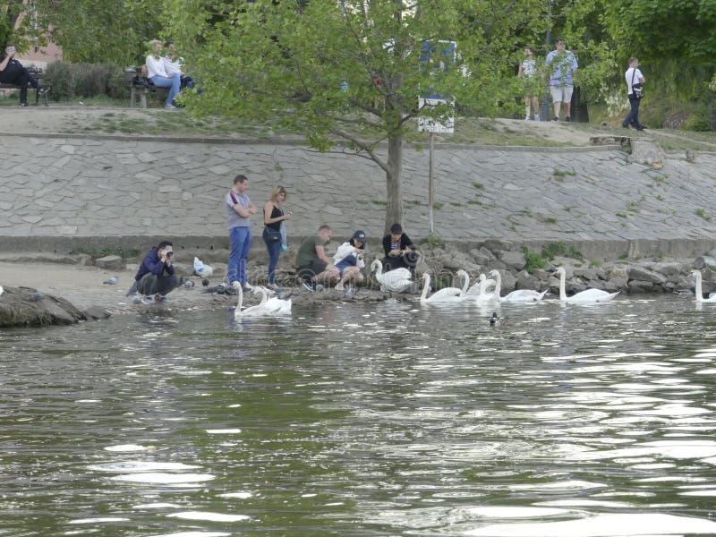 Tir splendide de plusieurs touristes alimentant les cygnes blancs sur l'interdiction photo libre de droits