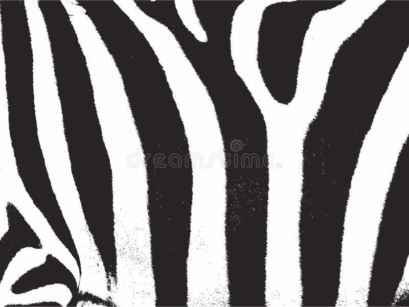 Tira da zebra. A zebra listra a textura do teste padrão ilustração royalty free