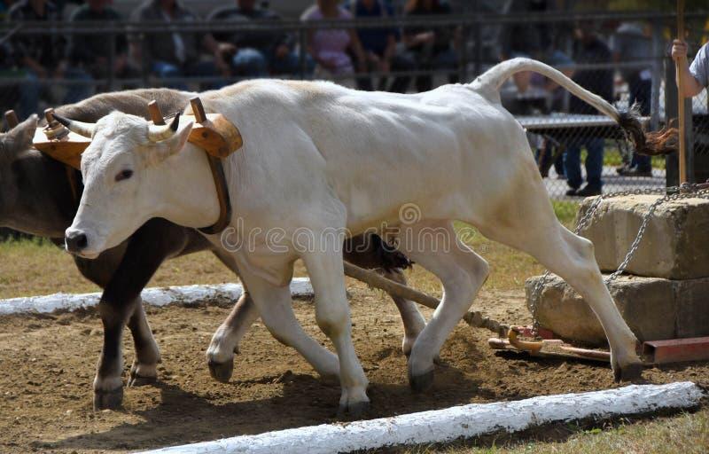 Tira de ganado en una feria del condado. 5000 libras fotografía de archivo