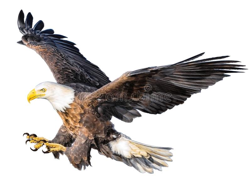 Tiraggio della mano di attacco di volo dell'aquila calva e colore della pittura su fondo bianco royalty illustrazione gratis