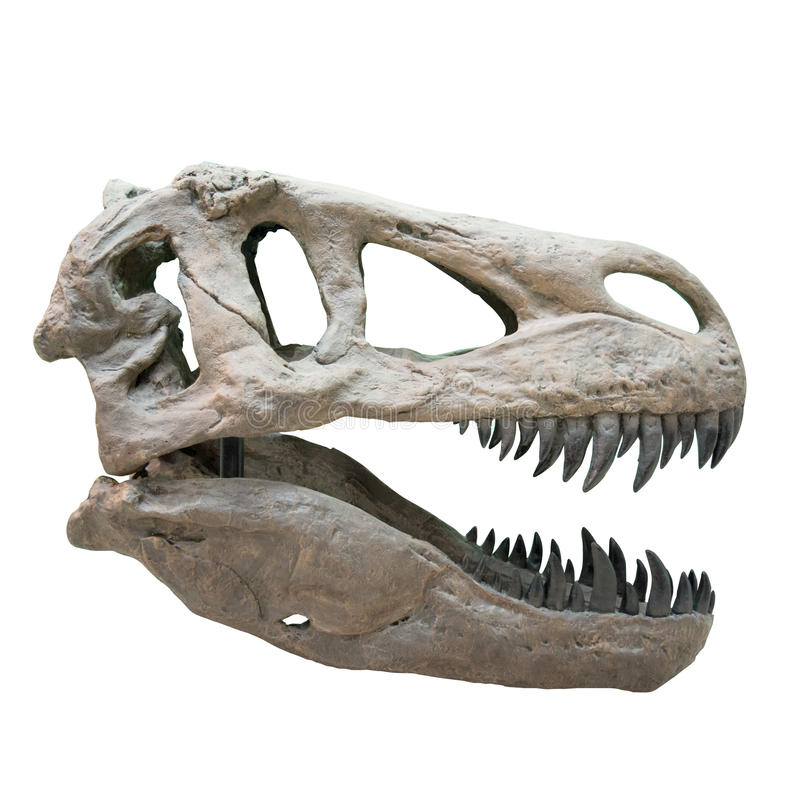Tirannosauro Rex Skull immagine stock