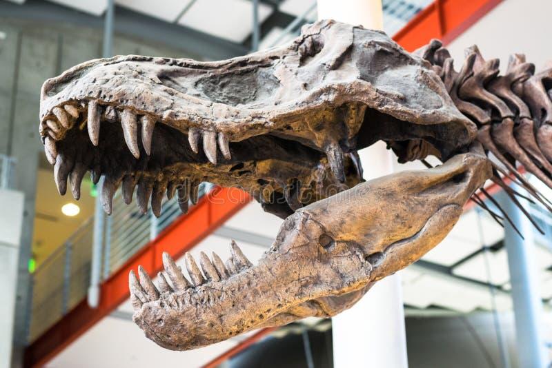 Tiranossauro Rex Dinosaur Fossil Um crânio fóssil do dinossauro do rex do tiranossauro contra um fundo unfocused foto de stock